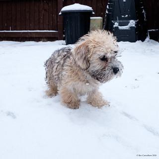my dandie dinmont puppy in the snow.....