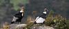 Andean Condor Pair (Vultur gryphus) by Frank Shufelt