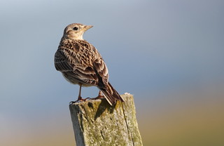 European Skylark | by themadbirdlady