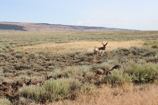 Antelope in E. Oregon