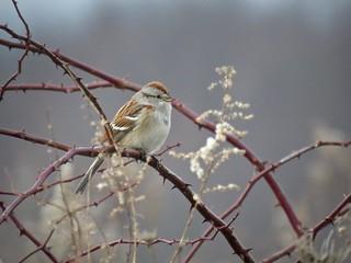 American Tree Sparrow | by Justin Lee (NoNameKey)