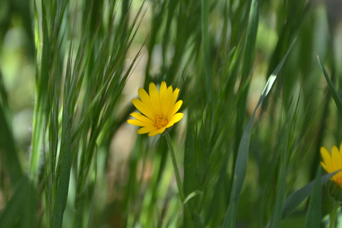 Calendula arvensis - souci des champs 32547770221_b910b33584