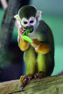 Squirrel monkey by Mark Fryer