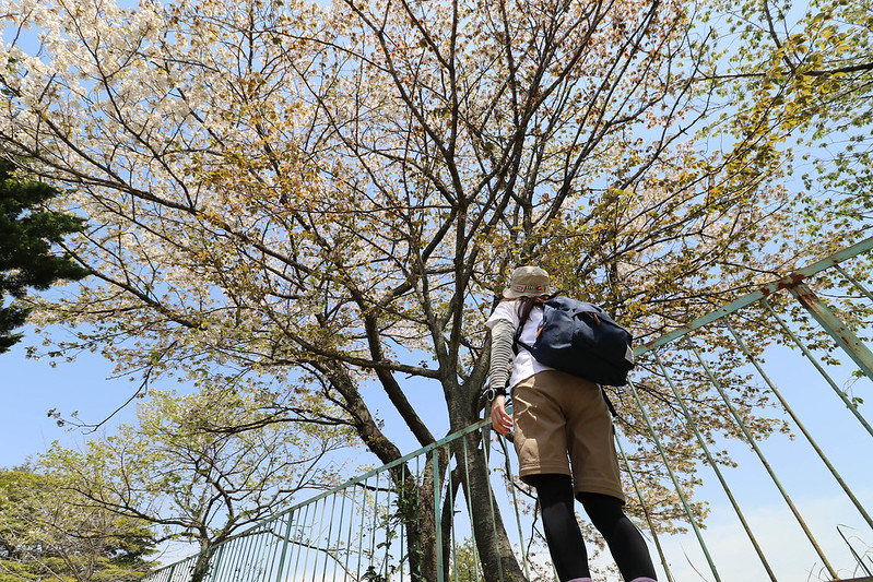 鎌倉アルプスの桜の木
