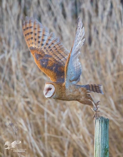 Barn Owl Launch