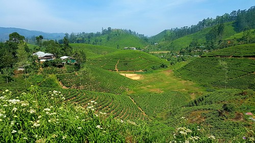 teaplantation theeplantage ceylonthee srilanka landscape bytrainkandytonuwaraeliya