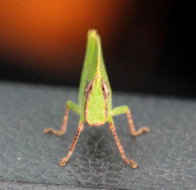 ecosystem/fauna/Hooded Leaf grasshopper(Phyllochoreia sp.)