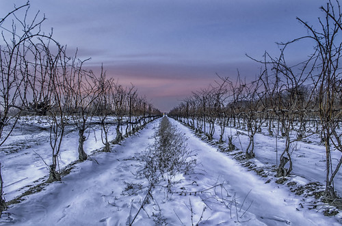 canada ontario paulboudreauphotography niagara d5100 nikon nikond5100 sunset nikkor1855mm photoshop trees layer raw winter beamsville lincoln sky vineyard snow vines legacy legacyexcellence
