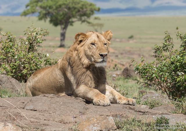Male Lion - Mandevu ( Bearded one) - Panthera leo
