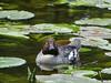 Common goldeneye // Bucephala clangula by Jevgenijs Slihto