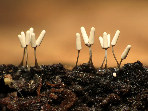 Club-shaped Slime Mould | by treegrow
