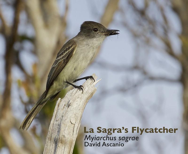 La Sagra's Flycatcher, Myiarchus sagrae_199A2800
