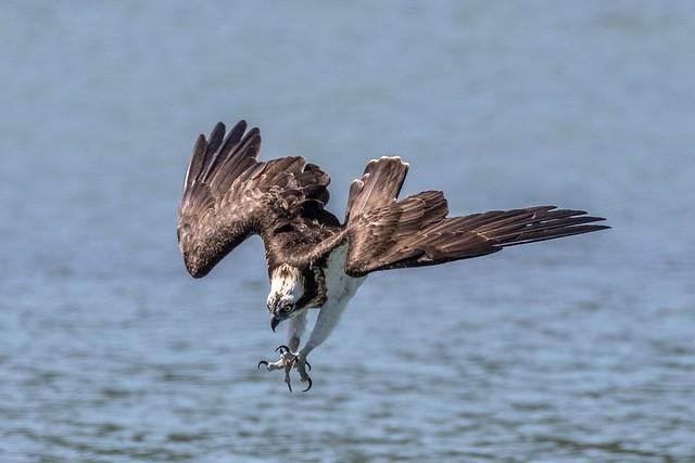 灣潭魚鷹~俯衝~  osprey dive