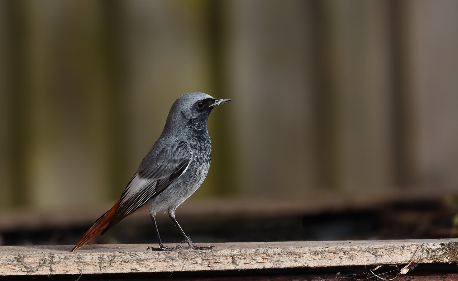 Black Redstart - on a wood pallett