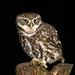 Little Owl - Photo (c) Tom Lee, some rights reserved (CC BY-NC-ND)