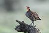 Grey-breasted spurfowl by takashi muramatsu