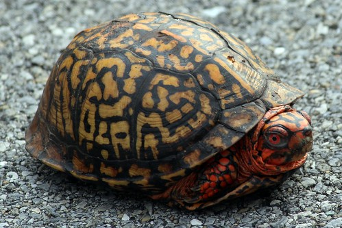 Photo of turtle with legs pulled into its shell, sitting on a pavement