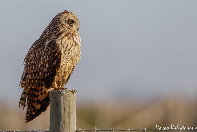 Coruja-do-nabal, Short-eared Owl (Asio flammeus)