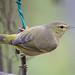 Orange-crowned Warbler by jciv