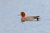 Eurasian Wigeon, Musselburgh, East Lothian, Scotland by Terathopius