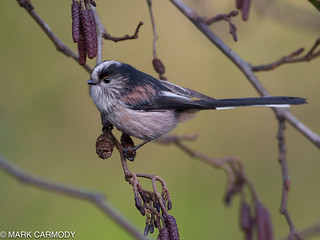 Long-tailed Tit/Meantán earrfhada (Aegithalos caudatus) | by Mark Carmody