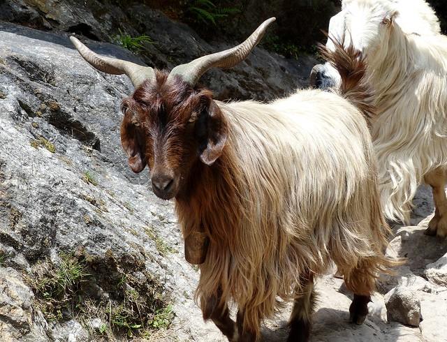 Himalayan Pashmina goat - Wesetern Himalayas ~2700m Altitude