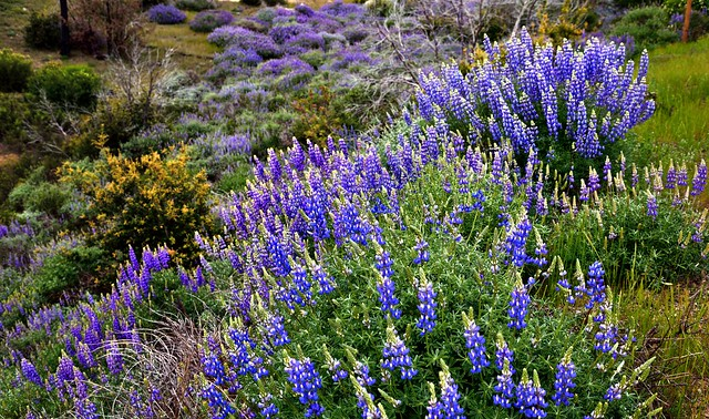 A Field of Brewer's Lupine (Yosemite National Park)