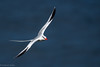 Red-billed Tropicbird by mathurinmalby