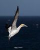 Australasian Gannet landing on a crowded colony (Morus serrator) by patrickkavanagh