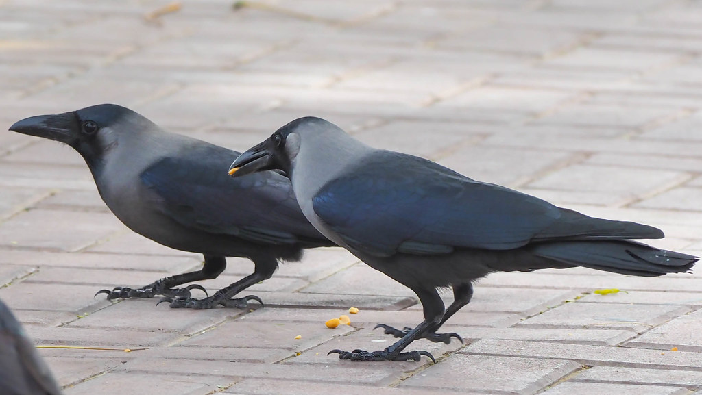 Image result for house crows