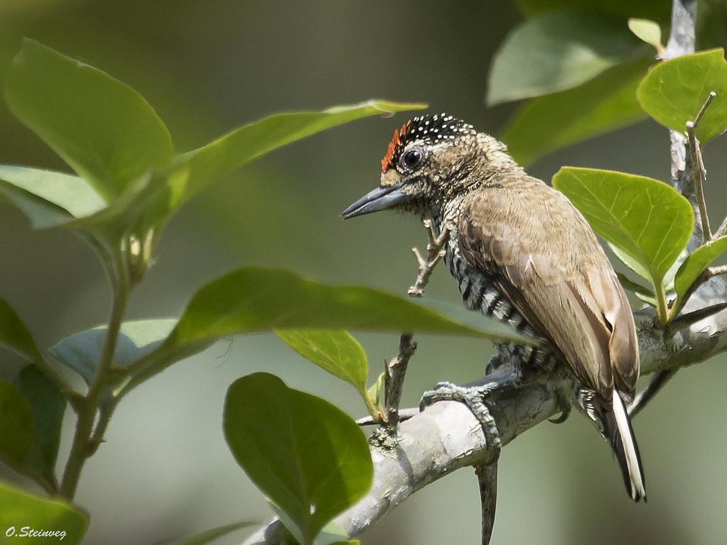 White-barred Piculet - Picumnus cirratus