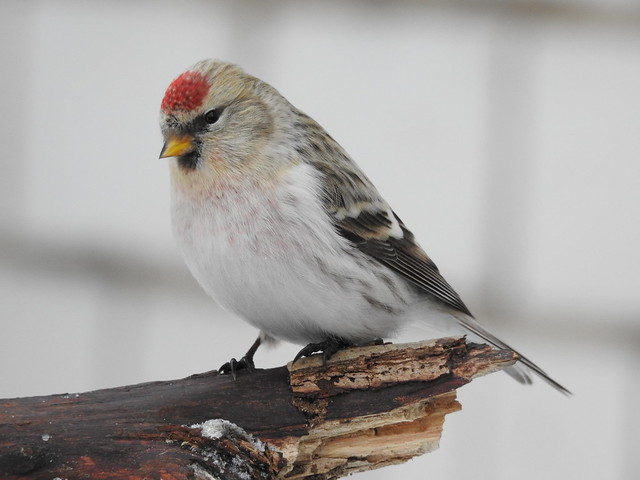 Arctic Redpoll (Carduelis hornemanni)