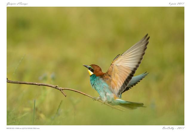Guêpiers | Merops apiaster | Bee eater