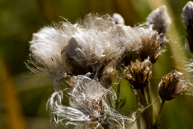 Canadian Thistle going to seed, Waskesiu River, Prince Albert National Park