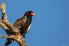 Bateleur eagle resting on a dead tree by jjsmit