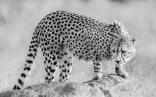 Cheetah in Pilanesberg Nationalpark, South Africa