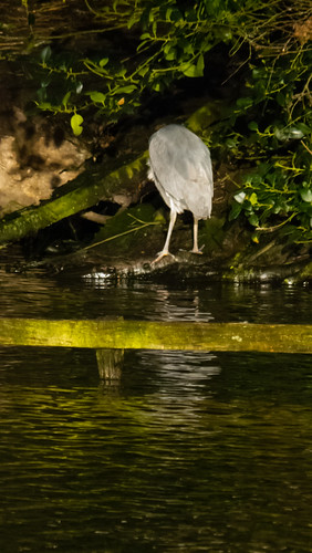 Heron gathering twigs