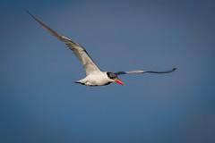 caspian tern flying & diving