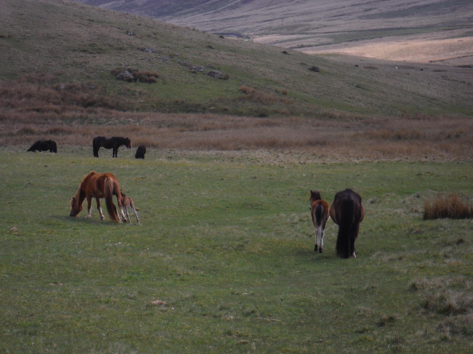 Hill Ponies, Bryn Melyn SWC Walk 307 - Fforest Fawr Traverse (Craig y Nos to Llwyn-y-celyn)