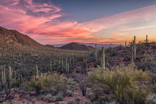 arizona carnegieagigantea pimacounty saguaro saguaronationalpark saguarowest sonorandesert tucsonmountaindistrict usa unitedstates cactus desert landscape nationalpark outdoor park plant sonoran sunset