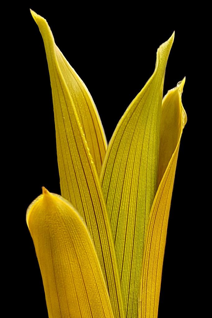 Brocchinia reducta