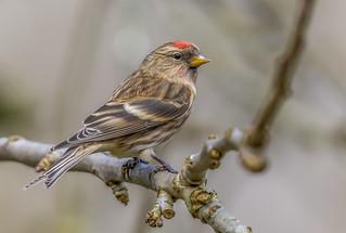 Lesser Redpoll, Male-
