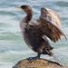 ウミウ(Japanese Cormorant)