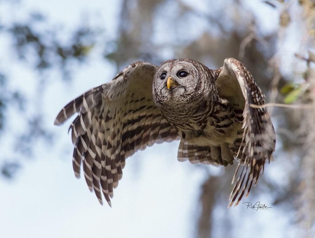 Barred Owl Flight Strix Varia The Pair Of Barred Owls We