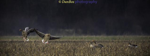 Gooses meeting