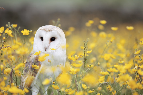 Barn_Owl,_Manchester_area,_UK,_by_Andy_Chilton_2016-07-06_(Unsplash) | by S. Von Matter