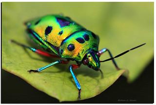 Green Jewel Bug