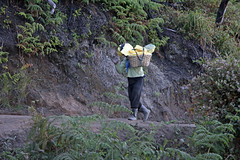 Ijen mining worker carring down about 80 kg of sulfur