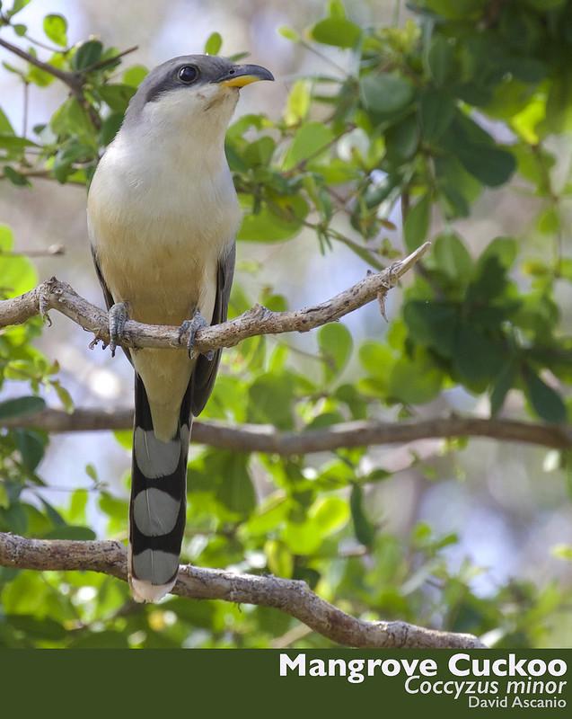 Mangrove Cuckoo, Coccyzus minor_199A3144