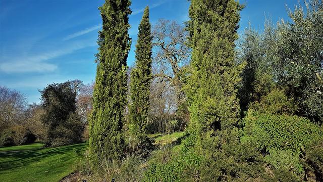 Italian Cypresses (Mediterranean)